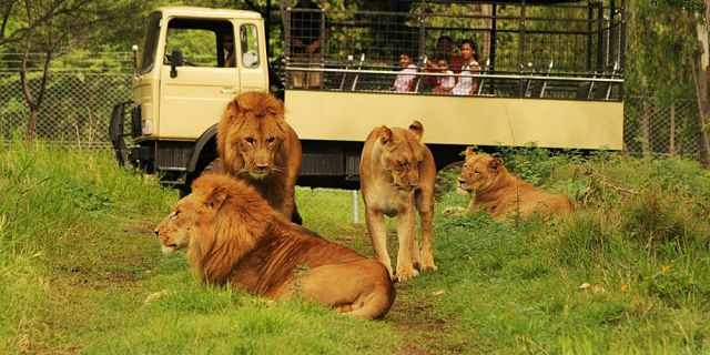 Big cats drive thru in mauritius casela park (5)