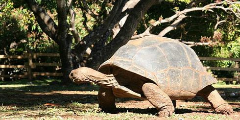 10 casela giant tortoises turtles
